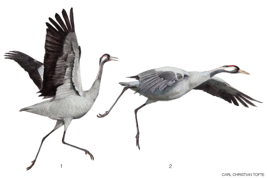 Löpa-flaxa-glida / Løbe-baske-glide / Run-flap-glide